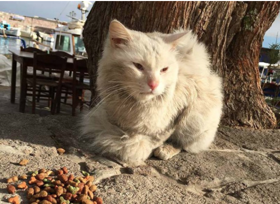 γάτος κουνκους Ιράκ