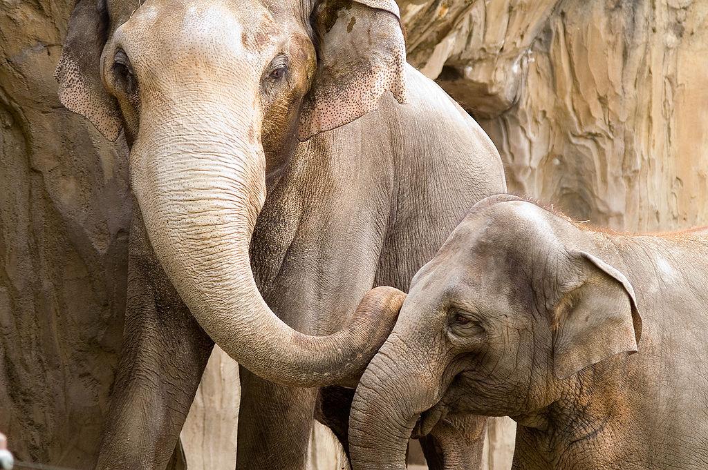 Η δυστυχία των ελεφάντων στους ζωολογικούς κήπους