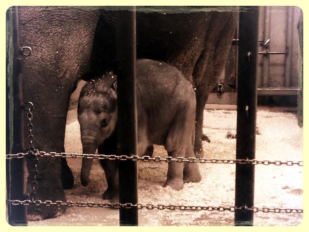 Πώς ζουν οι ελέφαντες, σκλαβωμένοι στους ζωολογικούς κήπους;